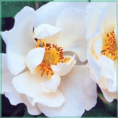 Сахон Холт. Белые цветы