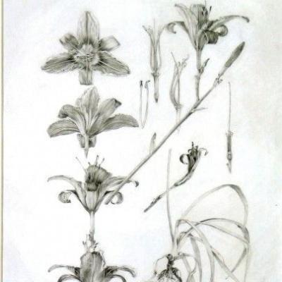 Decorative materials: outline lilies