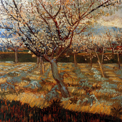 Цветущие абрикосы