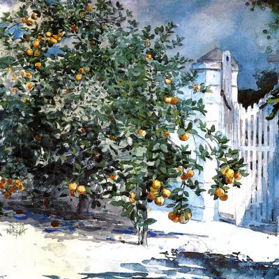 Orange tree, Nassau