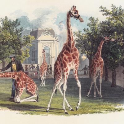 Первый жираф в зоопарк Шенбрунн
