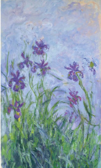 Pink-purple irises